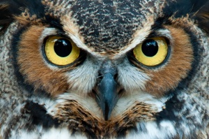"The Great Horned Owl is one of many ""non-target"" species harmed by rat poison."