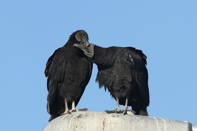 Lovebirds: like many birds species, black vultures bond by grooming one another (allopreening). (Image from Shutterstock.)